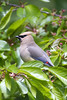 Cedar Waxwing by Trevor D. Jones