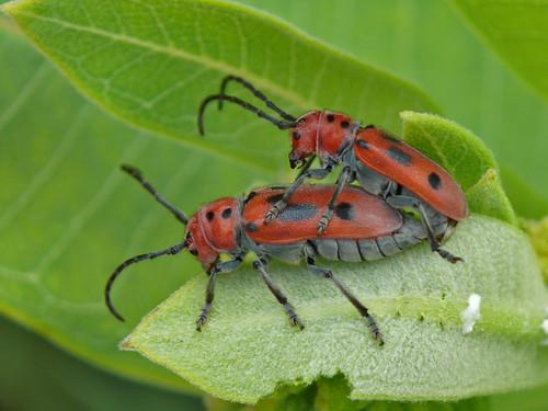 Mating Red Milkweed Beetles