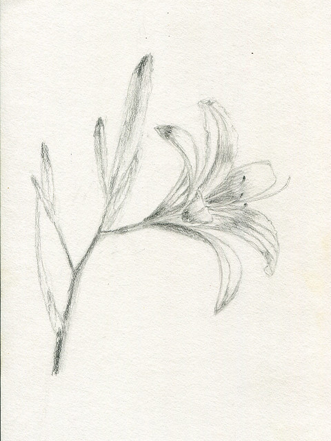 lily, pencil