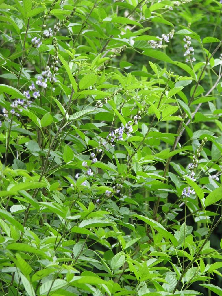 Psoralea glandulosa