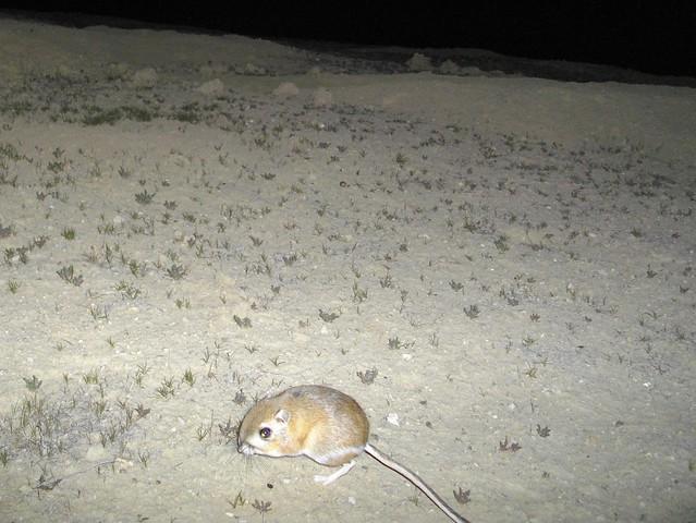 giant k-rat