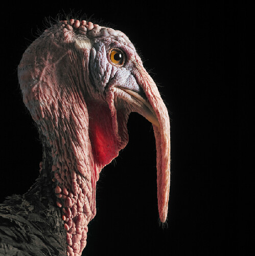 Tim Flach turkey