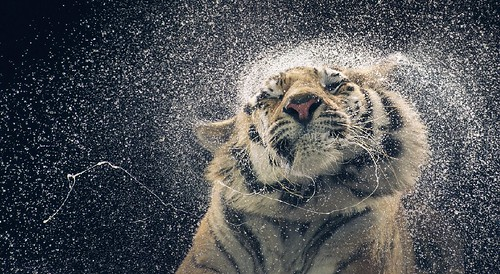 Tim Flach tiger water shake