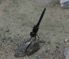 Black Pennant Dragonfly Montenegro by davidearlgray