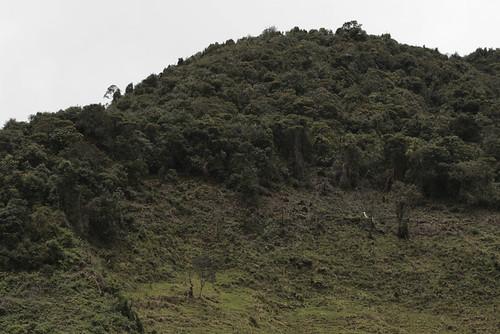 <i>Gastrotheca orophylax</i> Rana marsupial guardabosque. Habitat