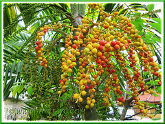 Ptychosperma macarthurii: branched clusters of unripened/ripened fruits