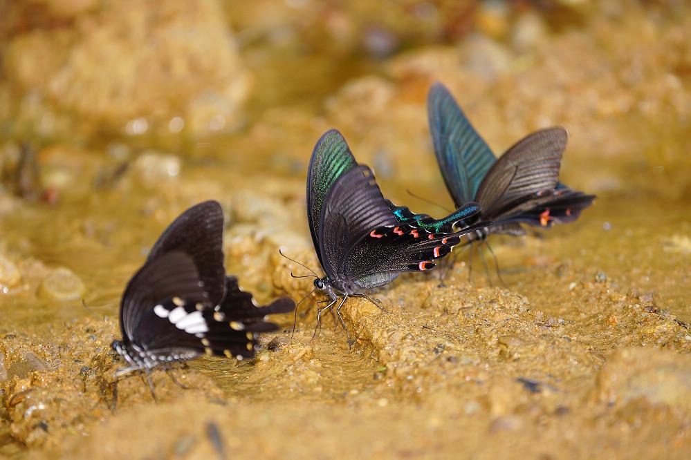 鳳蝶屬翠鳳蝶、大白紋鳳蝶-1