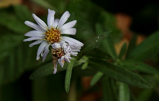 California Aster - Symphyotrichum chilense