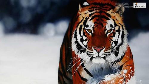 Angry Tiger Wallpaper Hd Angry Tiger Wallpaper Hd Flickr