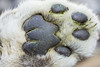 The paw of a snow leopard