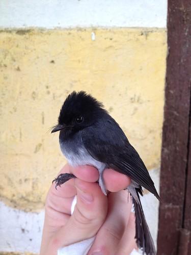 Elminia albiventris albiventris