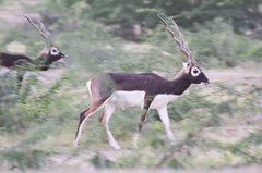 gemsbok(0.0), white-tailed deer(0.0), kudu(0.0), pronghorn(0.0), impala(0.0), gazelle(0.0), animal(1.0), antelope(1.0), springbok(1.0), mammal(1.0), fauna(1.0), safari(1.0), wildlife(1.0),