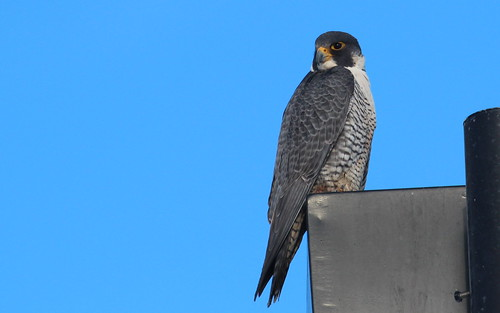 The co-operative peregrine. by ricmcarthur