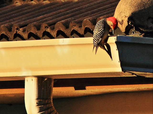 Red-bellied Woodpecker drumming 20140301