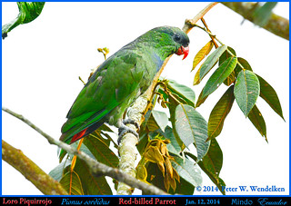 RED-BILLED PARROT Pionus sordidus Viewed in Profile in Mindo in Northwestern ECUADOR. Parrot Photo by Peter Wendelken.