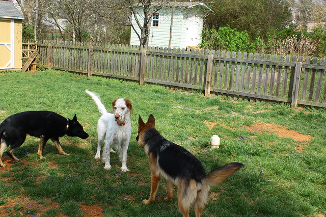 Four-dog play-date