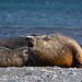 Young male Southern Elephant Seals on Livingstone Island, South Shetlands, Antarctica by nhillgarth