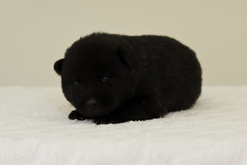 Ayui-Litter4-Day20-Puppy1-Male-d