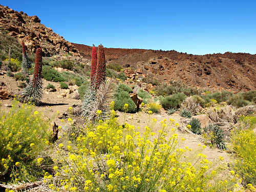 Tajinaste in Teide National Park, Tenerife