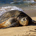 Green Sea Turtle by Divya Dinakar