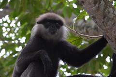western gorilla(0.0), tufted capuchin(0.0), capuchin monkey(0.0), gorilla(0.0), white-headed capuchin(0.0), ape(0.0), gibbon(1.0), animal(1.0), monkey(1.0), mammal(1.0), fauna(1.0), spider monkey(1.0), new world monkey(1.0), macaque(1.0), wildlife(1.0),
