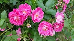 rosa rugosa(0.0), rosa wichuraiana(1.0), annual plant(1.0), shrub(1.0), garden roses(1.0), rosa 㗠centifolia(1.0), floribunda(1.0), flower(1.0), rosa gallica(1.0), plant(1.0), flora(1.0), pink(1.0), petal(1.0),