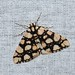 Small photo of Alcis maculata
