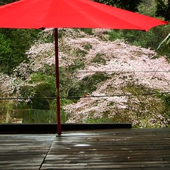 Cherry blossoms of full bloom  seen from the wood deck. ウッドデッキから見える満開の桜。 #fuurin_house #風鈴ハウス
