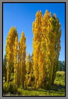 Poplar trees by New England Highway-4=