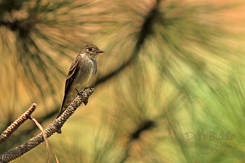 Female Western Kingbird