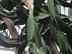 plant, acanthocereus tetragonus, cactus family,
