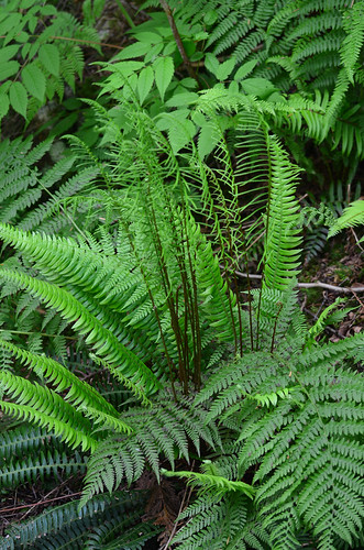 <p><i>Blechnum spicant</i>, Blechnaceae<br /> Hicks Lake, British Columbia, Canada<br /> Nikon D5100, 70-300 mm f/4.5-5.6<br /> June 8, 2013</p>