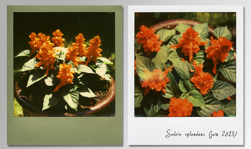 Salvia splendens (sauge rouge)