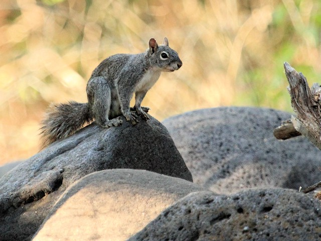 Gray Squirrel at Oak Creek 20130617