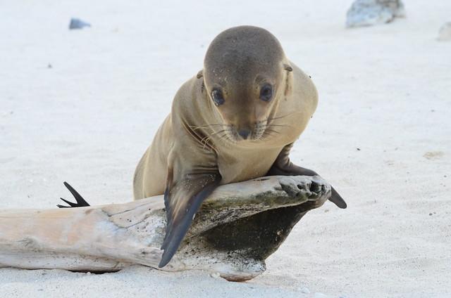 Baby Sea Lion, Isla Mosquera, Galápagos