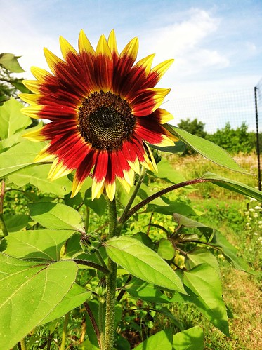 Gloria Gaynor Sunflower by Taproot Garden