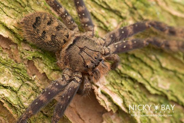 Huntsman Spider (Heteropoda lunula?) - DSC_1719