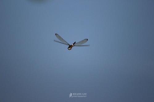 黃紉蜻蜓(雄)
