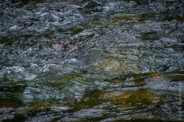 Otter / Nutria