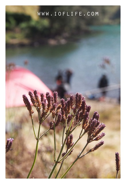 lavender ranu kumbolo
