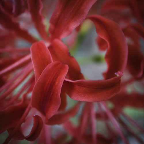 Temple Red Spider Lily 01, Lycoris radiata_
