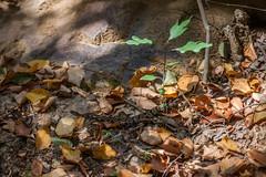 Eastern Rattlesnake
