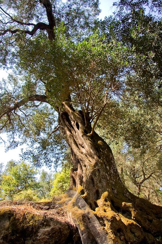 25. El olivo, la joya de Corfú. Autor, Ángel Hernansáez