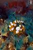 Squat Shrimp Thor amboinensis