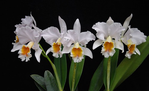Cattleya percivaliana fma albescens 'D&D'