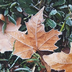 """While the frost continues to reappear in the mornings, a """"classic"""" capture of it on an innocent maple leaf"""