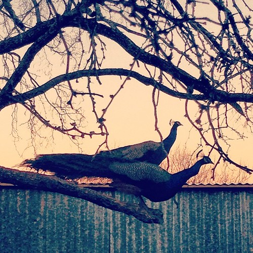 Peacocks populate the trees in Lone Grove. It's so surreal to hear them calling at sunset, a sound for Indian palaces perhaps - but also for hill country twilights...