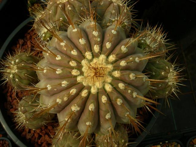 Copiapoa in cultivation 11740051096_5b39351b91_z