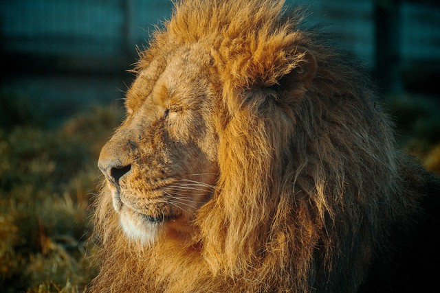 dublinzoolion_01