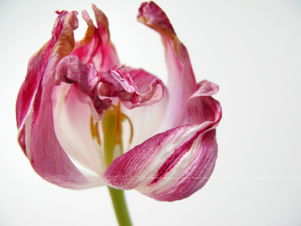 tulips are better when they're dead | Emma Lamb